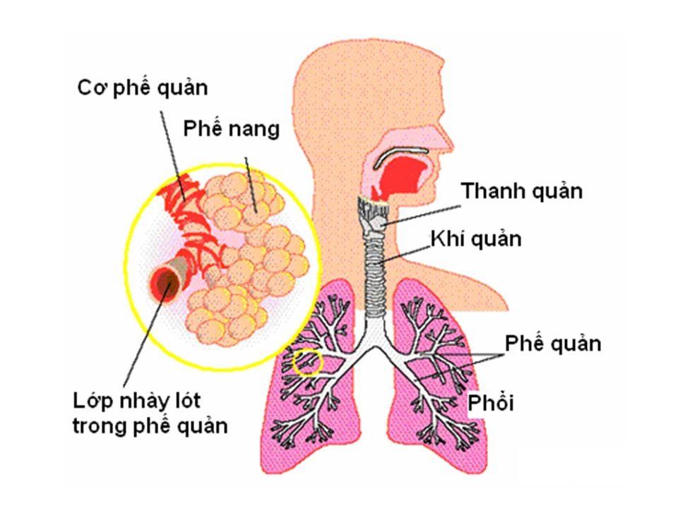 GIải phẫu thanh quản, phổi