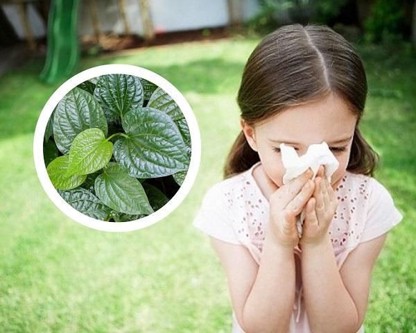 lá lốt chữa viêm mũi